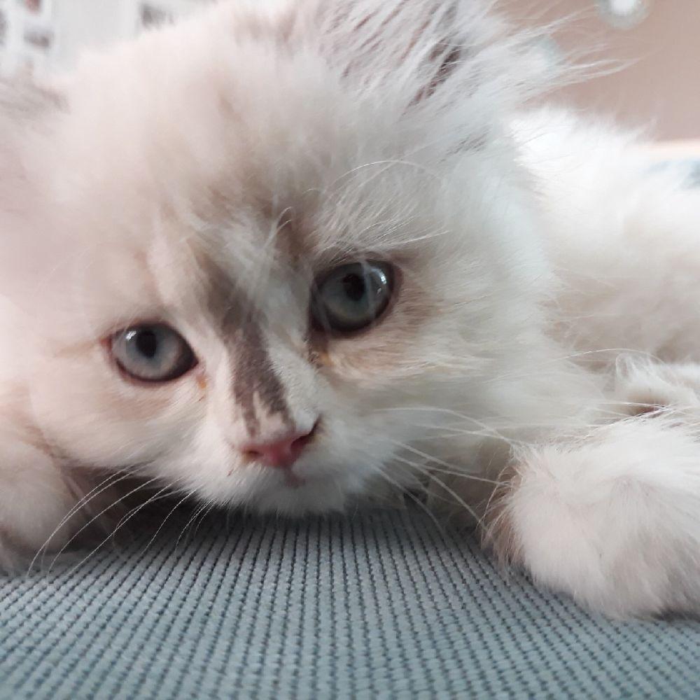 Kedi Dişi İran kedisi Ücretsiz Veriyorum 2.5 aylık kızımıza yuva arıyoruz
