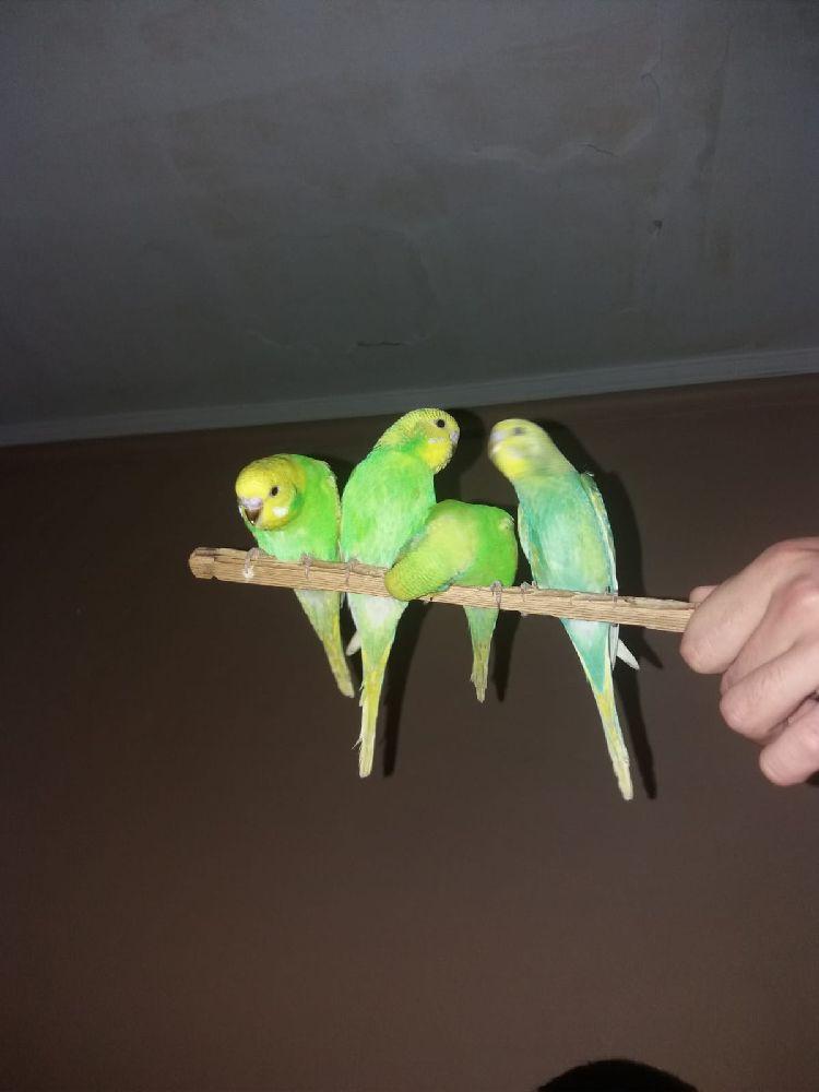 Muhabbet Kuşu Erkek Spangle Satılık Ele Gelen Yeni yeme düşmüş yavru kuşlar