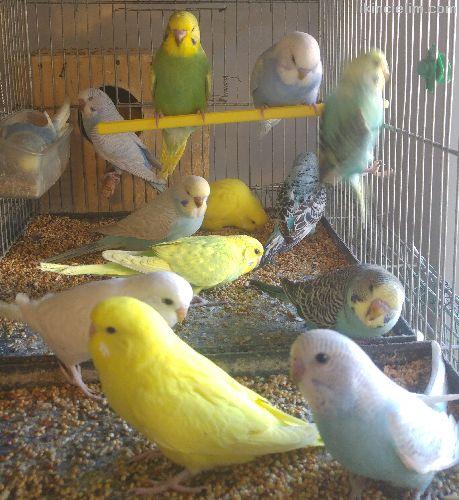 Üreticiden yavru ve cift muhabbet kuşları