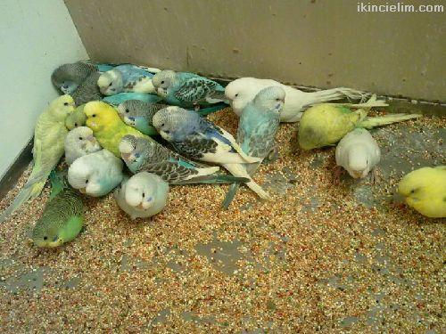 İstanbul sultanbeyli muhabbet kuşu üretimi