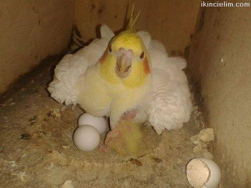 Damızlık Eş Sultan Papağanları