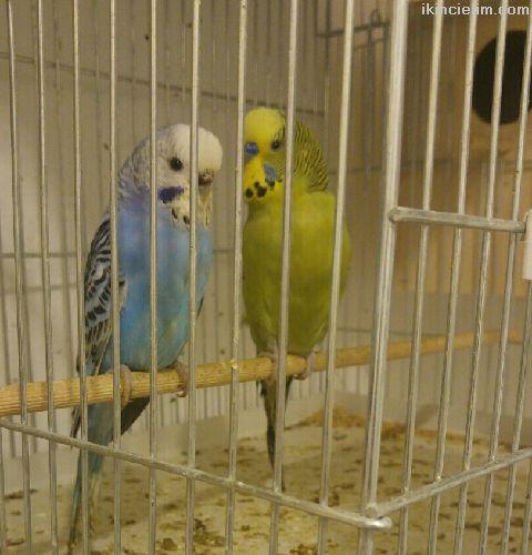Sahinden satılık çift muhabbet kuşları