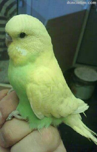 Üreticiden yavru muhabbet kuşları ve çiftler