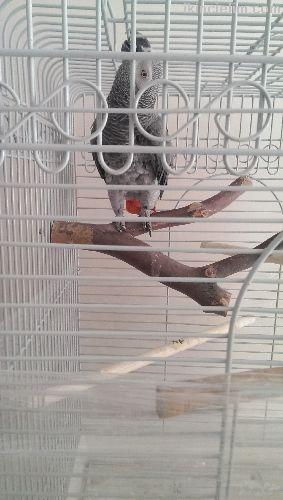 Jako gri papağan