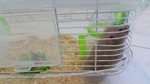 Kafesli satılık hamster