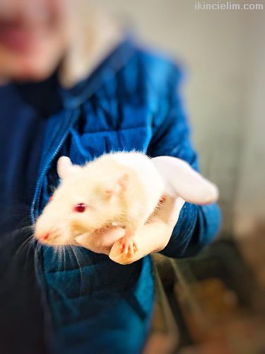 Rat - Hamster - Labaratuvar Faresi Evde Beslemeye