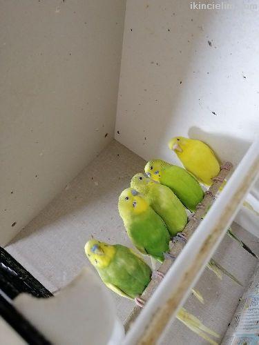 Üreticiden saglam damızlık kuşlar
