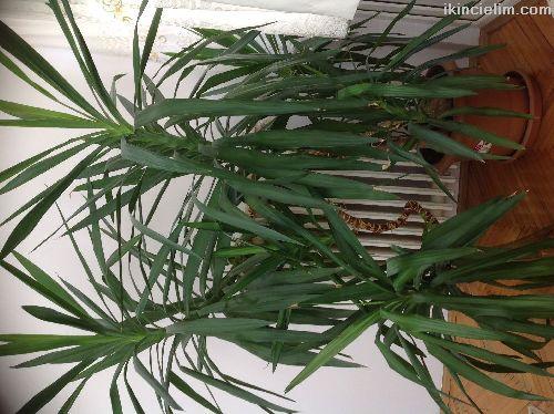 2 metre dev yucca