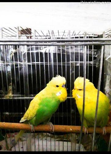 Çift,Takım Çekoslovak Muhabbet Kuşu Acıklamayı Oku