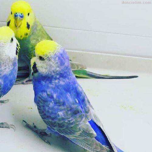 Muhabbet kuşu türleri be özel renkler mevcuttur