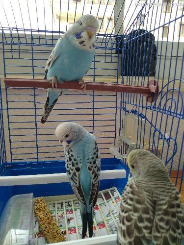 Jumbo muhabbet kuşu yavruları