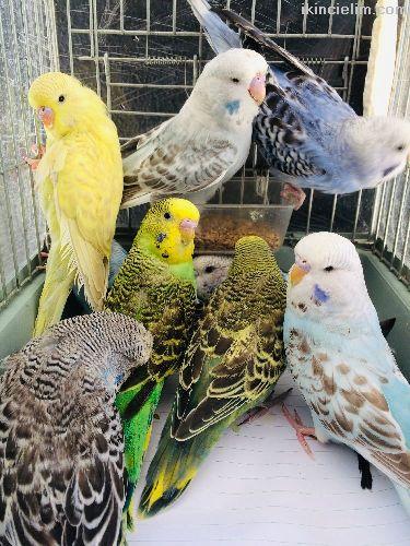 Antalya Jumbo Muhabbet Kuşu Yavruları Fuul Evcil