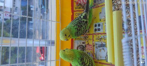 2 adet muhabbet kuşu 120 Tl