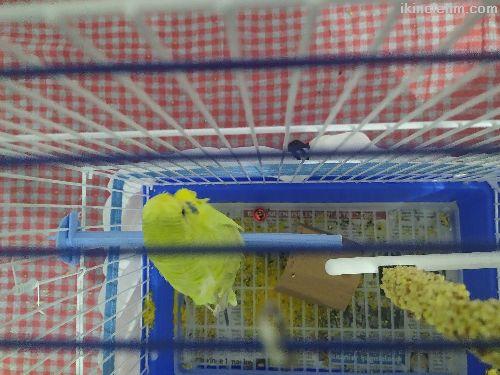 Erkek muhabbet kuşu