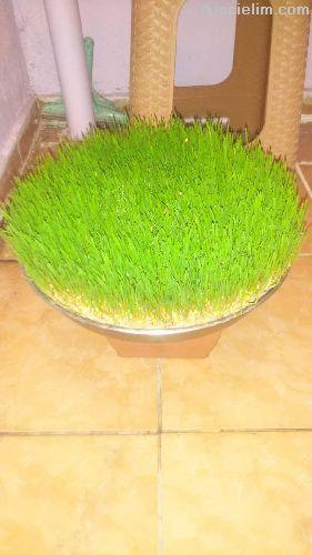 Asır buğday çimi