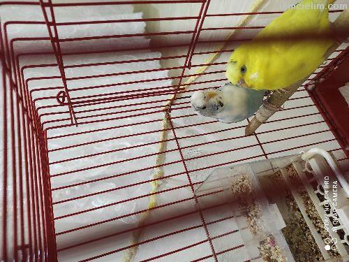 Çift kuş yumutlayacak