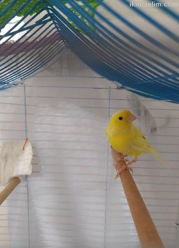 Orijinal Dişi Malinua, hiç eşe atılmadı genç kuş