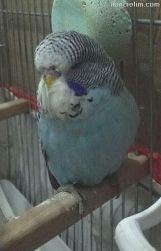 Konuşmaya uygun show Jumbo muhabbet kuşu