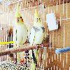 Muhabbet kuşu ve sultan papağanı