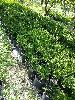 Şimşir bitkisi