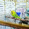 Damızlık Jumbo kırması Erkek Muhabbet Kuşu
