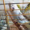 Dişi Jumbo Muhabbet Kuşu