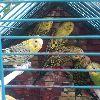 Yukarıkocayatakta muhabbet kuşu satılır